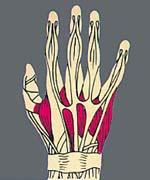 Анатомия кистей рук